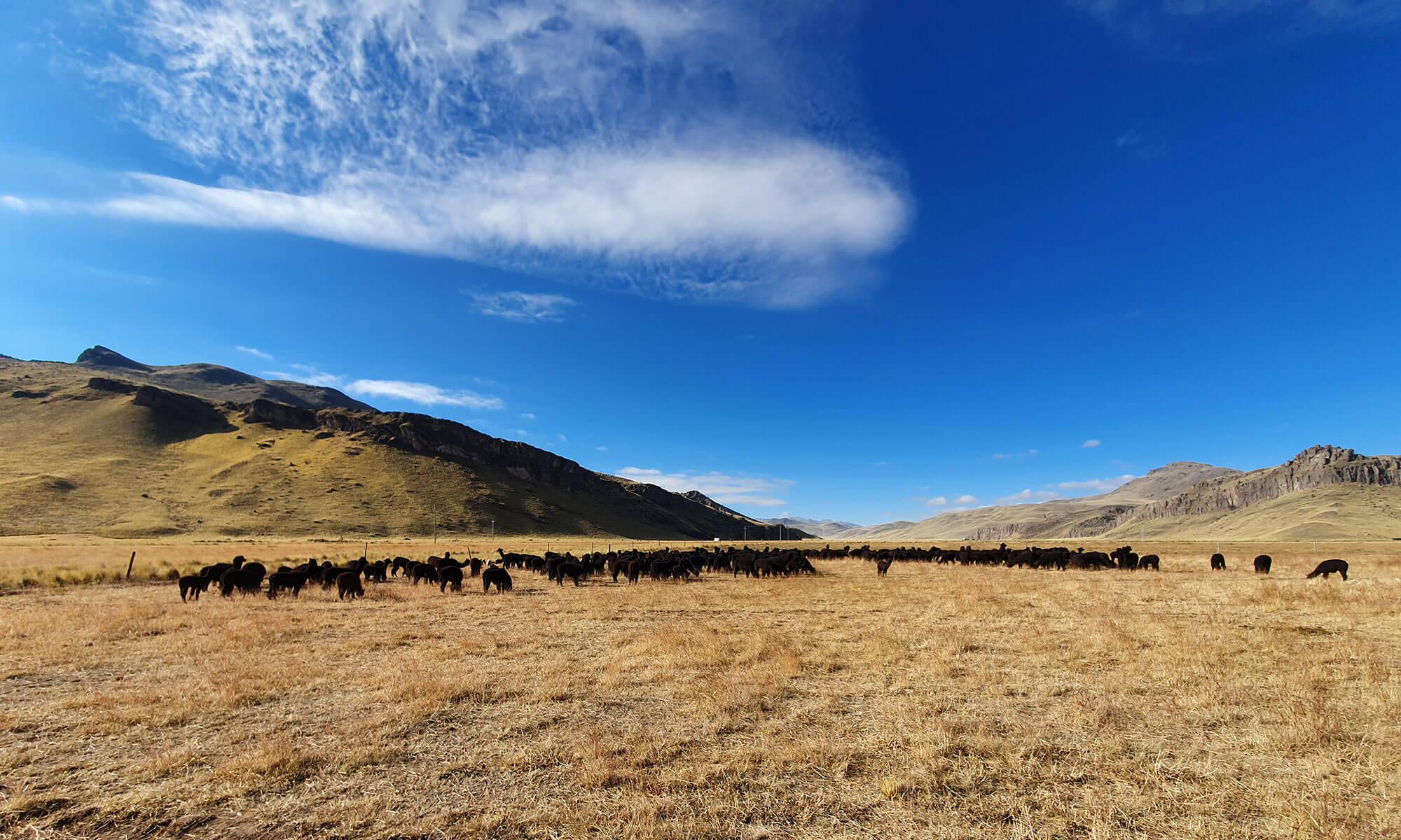 Alpakawolle Eigenschaften Herkunft und Pflege
